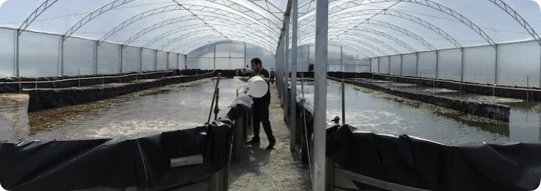 Cultivo de camarão em bioflocos